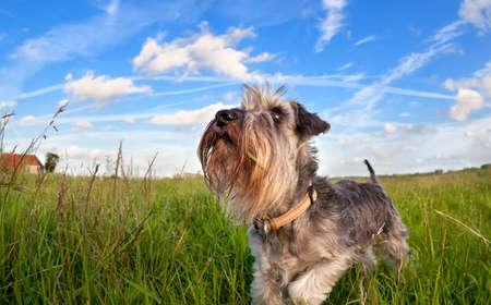 cute miniature schnauzer on green grass over blue sky outdoors photo