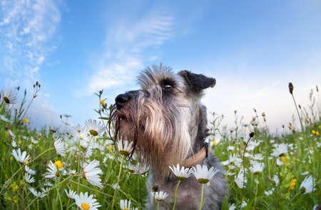 cute miniature schnauzer dog among chamomile  flowers