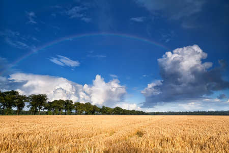 rainbow over wheat field during summer day