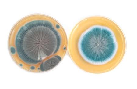 penicillium: Penicillium fungi on agar plate in laboratory