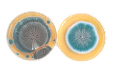 Penicillium fungi on agar plate in laboratory