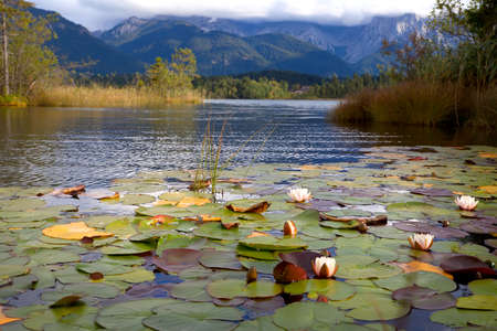 lirio de agua: flores de lirio de agua en el lago Barmsee, Baviera, Alemania