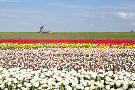 north holland: colorful tulip field and Dutch windmill in spring, Alkmaar, North Holland