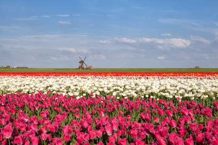north holland: windmill, blue sky and tulip field, Alkmaar, North Holland