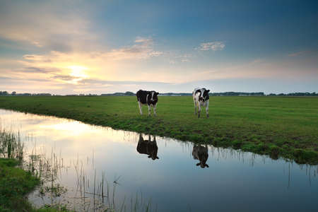cows on pasture by river at sunset, Holland photo