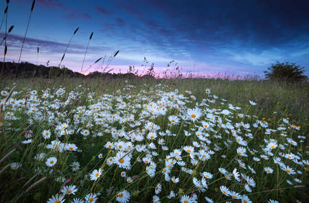 many white chamomile flowers at summer sunset photo