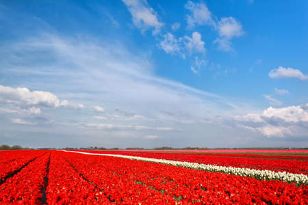 groningen: red tulip field and blue sky in spring, Groningen, Netherlands