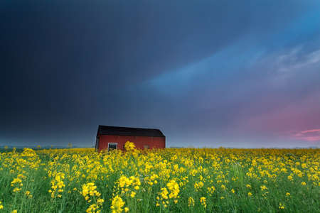 sunset over farmhouse on rapeseed flowers field in spring photo
