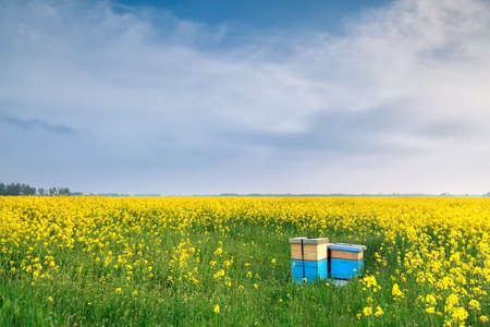 rapeseed flowers and beehive over blue sky in spring Banco de Imagens