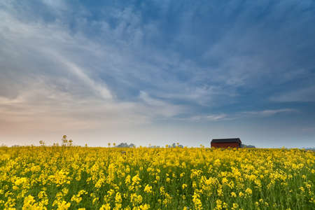 yellow rapeseed flower field at sunset in spring photo