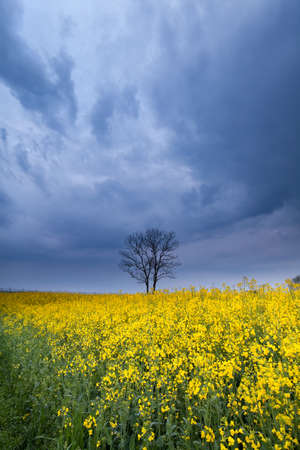 stormy sky over yellow rapeseed flower field in spring photo