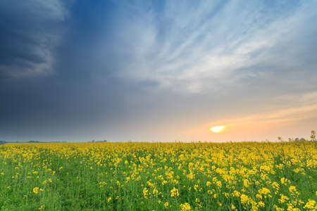 sunset over yellow rapeseed flower field in spring photo