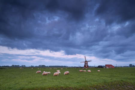 sheep on pasture and windmill, Netherlands photo