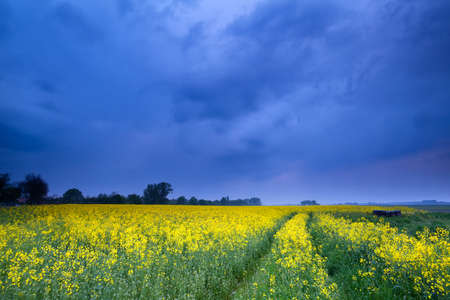 rapeseed flower field in dusk, Groningen, Netherlands photo