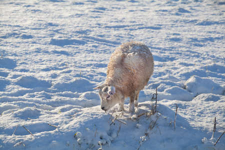 sheep on snow pasture, Holland photo