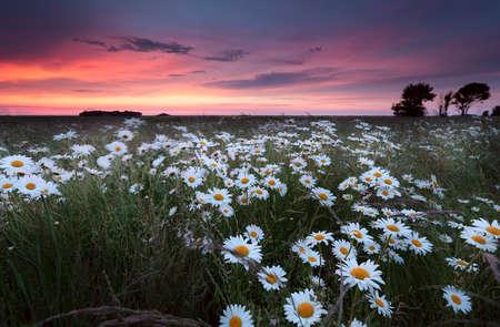groningen: sunset over chamomilr flowers field  in summer, Groningen, Netherlands