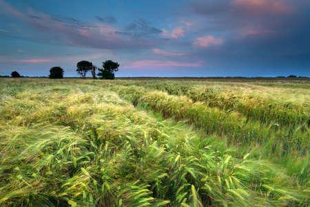 groningen: zonsondergang over tarwe veld in de zomer, Groningen, Nederland