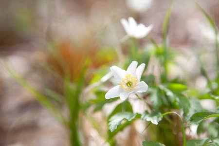 anemone flower: fiore di bucaneve anemone nella foresta di primavera
