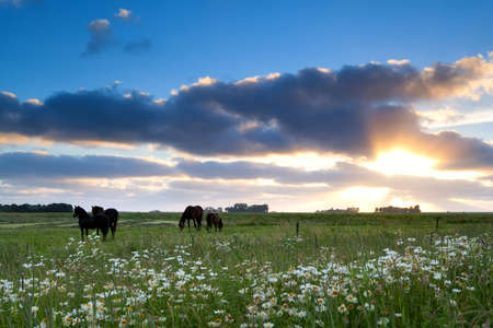 horses graze on pasture at gold sunset, Friesland, Netherlands Stock Photo