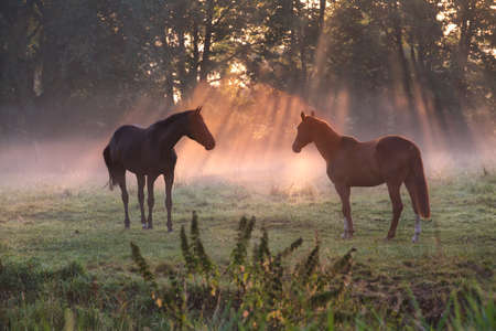 horses on pasture in morning misty sunbeams