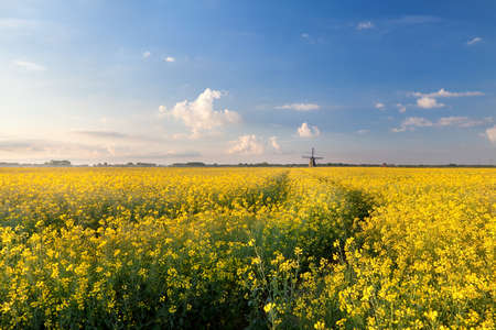 oilseed flower field in morning light and windmill photo