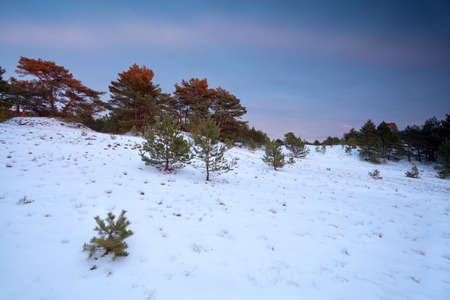 winter sunset over snowy coniferous forest photo