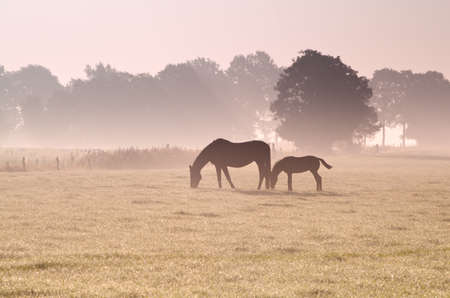 two horses grazing in fog at sunrise Stock Photo