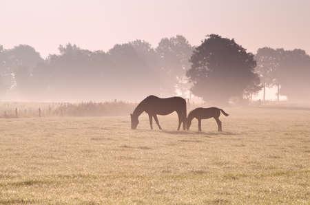two horses grazing in fog at sunrise Banco de Imagens