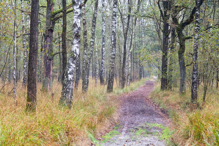noord brabant: path in autumn birth tree forest