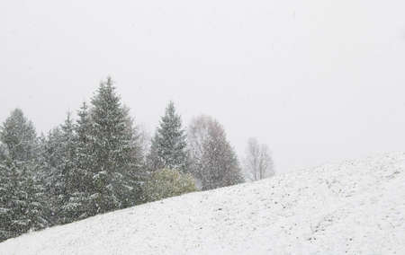 over hill: snowstorm over hill and spruce trees in winter