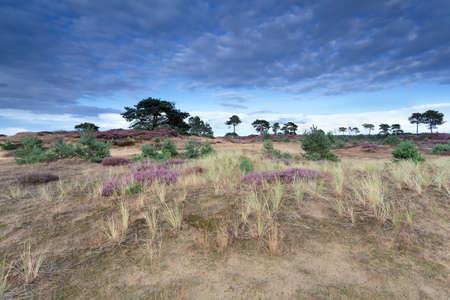 heather: flowering heather on sand dunes in summer Stock Photo
