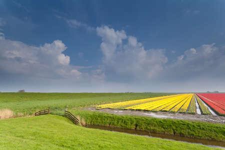 north holland: Dutch farmland with tulip field, North Holland