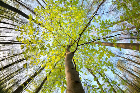 green beech tree in sunny spring forest photo