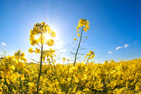 rapeseed flowers over blue sky and sunshine, Groningen, Netherlands photo