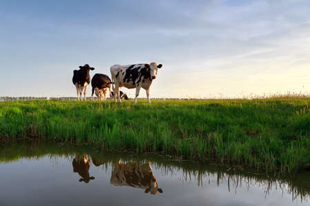 Cows on pasture reflected in river at sunset Banco de Imagens