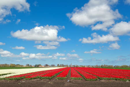 north holland: red and white tulip and blue sky, North Holland, Netherlands