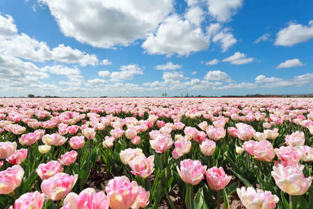 north holland: pink tulip field and blue sky, North Holland, Netherlands