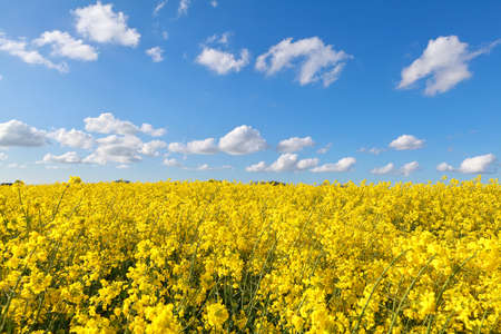 yellow rape flower field and blue sky, Groningen, Netherlands photo