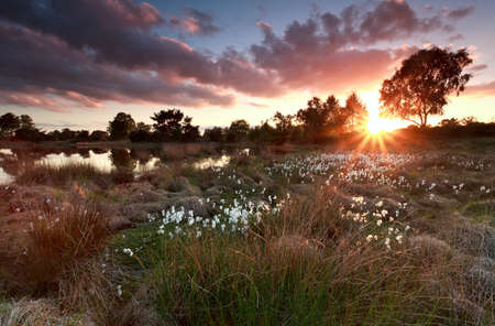 north brabant: gold sunset over lake with cottongrass, North Brabant, Netherlands
