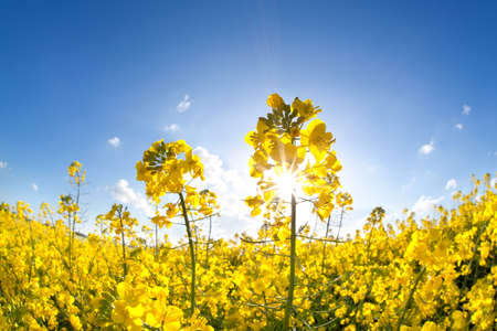 sunshine on yellow rapeseed oil flower field over blue sky photo