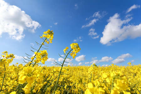 yellow oilseed flower field and blue sky in summer photo