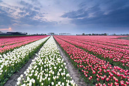 blue tulip: red and white tulip field in spring, Holland