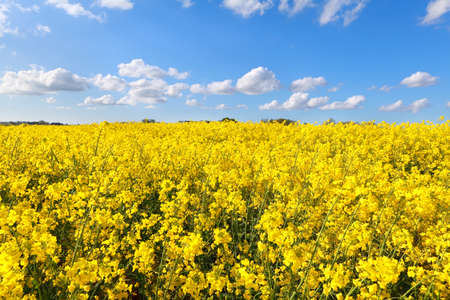 oilseed flower field over blue sky, Groningen, Netherlands photo