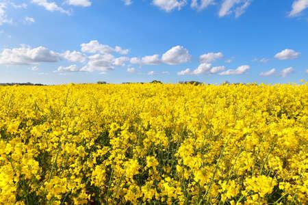oilseed: oilseed flower field over blue sky, Groningen, Netherlands