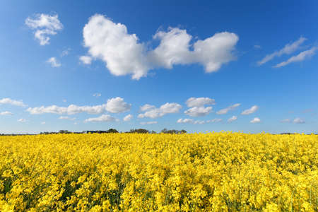 a field: yellow oilseed flower field and blue sky