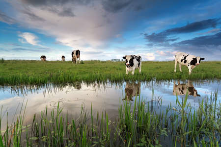 cows on pasture by river over sunset sky