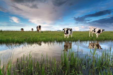 koeien op de weide aan de rivier over zonsondergang hemel