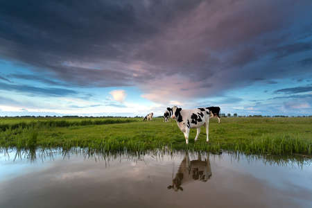 pastures: cow on pasture by river at sunset