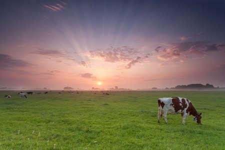koeien grazen op de weide bij zonsopgang in de zomer Stockfoto