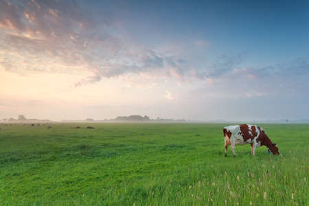vaca: vaca pastando en los pastos en verano por la mañana